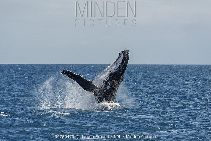 Humpback whale (Megaptera novaeangliae) breaching. Hervey Bay, Queensland, Australia. Sequence 2 of 9.