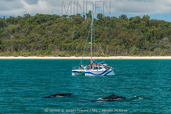 Fraser Island with tourists on day boat 'Blue Dolphin' watching humpback whale (Megaptera novaeangliae)  during the winter/spring humpback whale migration, Hervey Bay, Queensland, Australia September 2016.