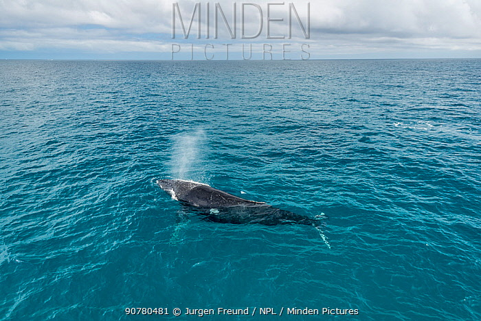 Humpback whale (Megaptera novaeangliae) surfacing during the winter/spring humpback whale migration, Hervey Bay, Queensland, Australia September 2016.