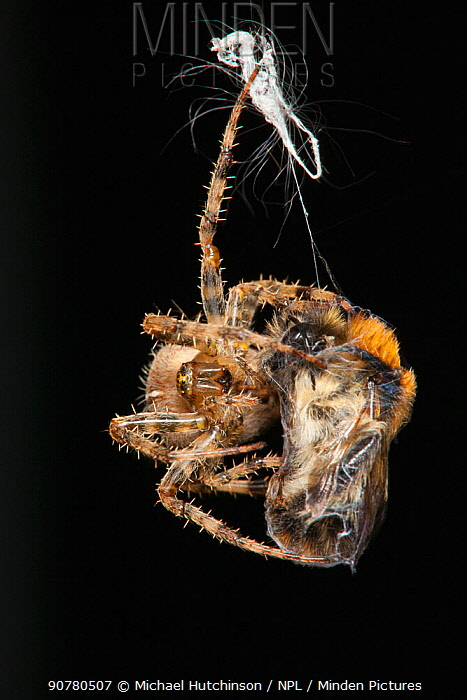 Garden Cross Spider (Araneus diadematus) wrapping its Common Carder Bee (Bombus pascuorum) prey in silk, Bristol, UK, September. Sequence 9/10.