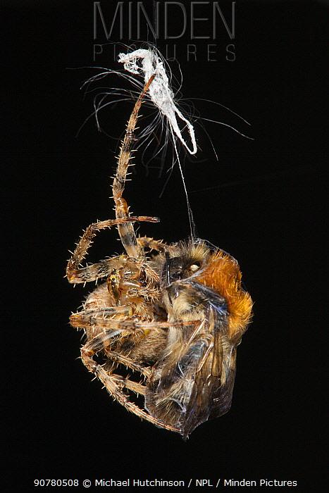 Garden Cross Spider (Araneus diadematus) wrapping its Common Carder Bee (Bombus pascuorum) prey in silk, Bristol, UK, September. Sequence 10/10.