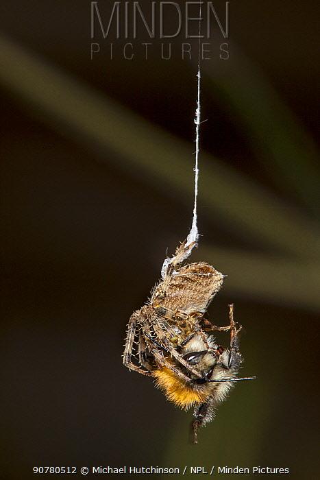 Garden Cross Spider (Araneus diadematus) wrapping its Common Carder Bee (Bombus pascuorum) prey in silk, Bristol, UK, September. Sequence 2/10.