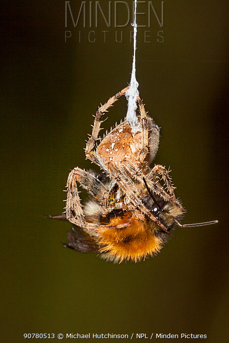 Garden Cross Spider (Araneus diadematus) wrapping its Common Carder Bee (Bombus pascuorum) prey in silk, Bristol, UK, September. Sequence 3/10.