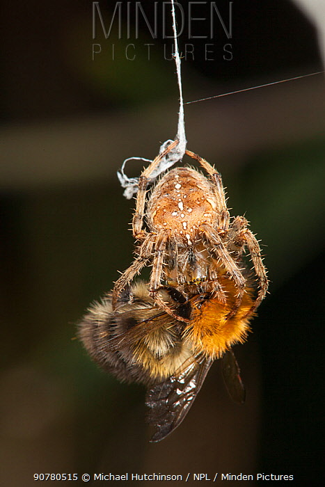 Garden Cross Spider (Araneus diadematus) wrapping its Common Carder Bee (Bombus pascuorum) prey in silk, Bristol, UK, September. Sequence 5/10.