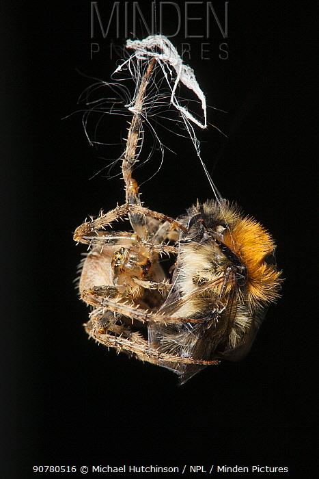Garden Cross Spider (Araneus diadematus) wrapping its Common Carder Bee (Bombus pascuorum) prey in silk, Bristol, UK, September. Sequence 6/10.