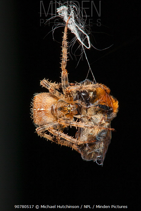 Garden Cross Spider (Araneus diadematus) wrapping its Common Carder Bee (Bombus pascuorum) prey in silk, Bristol, UK, September. Sequence 7/10.