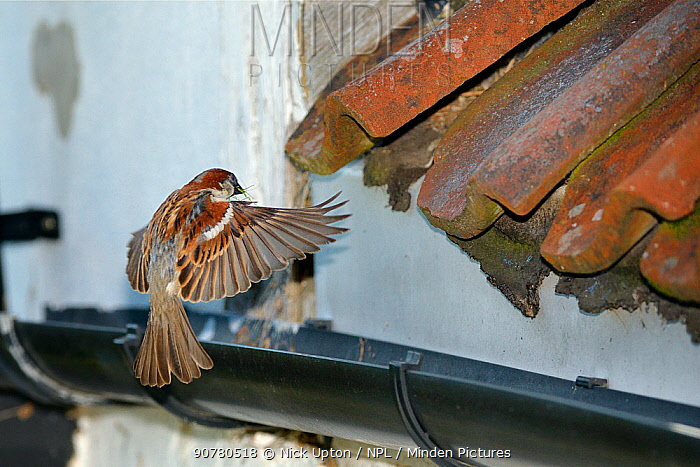 House sparrow (Passer domesticus) male flying to its nest site under old roof tiles on a cottage carrying nest material in its beak, Wiltshire, UK, June.