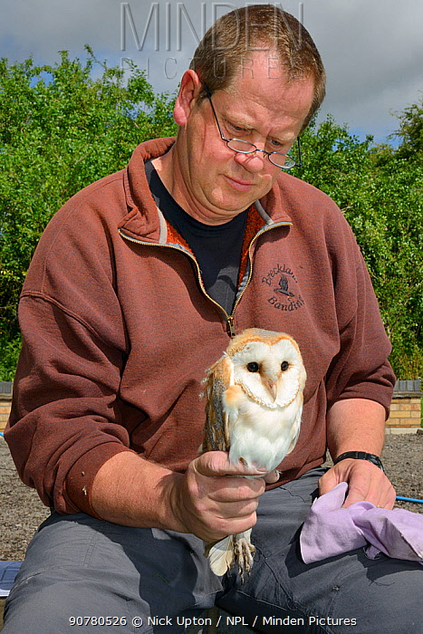 Barn owl (Tyto alba) chick being held after ringing  during a licensed nest box survey, Suffolk, UK, July. Model released.