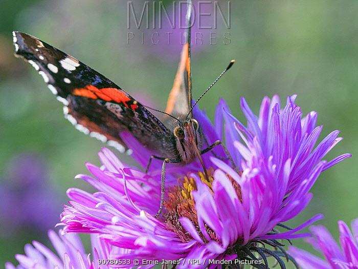 Red admiral butterfly (Vanessa atalanta) on Michaelmas daises (Aster amellus) in autumn, Norfolk, England, UK, September.