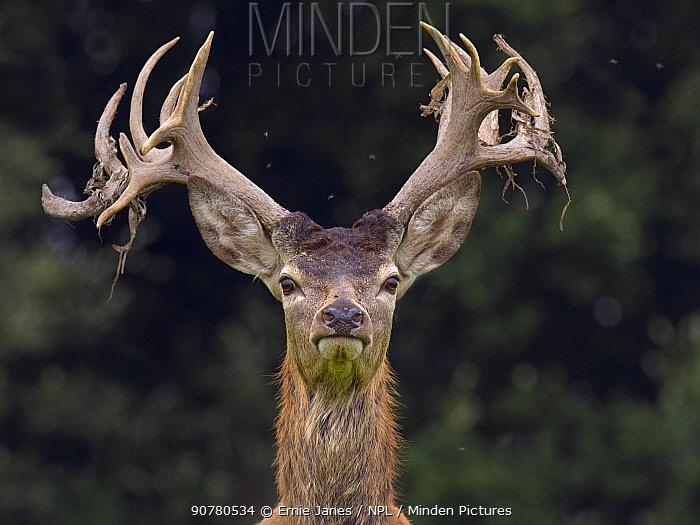 Red deer (Cervus elaphus) stag shedding velvet from antlers in autumn, Norfolk, England, UK, September.