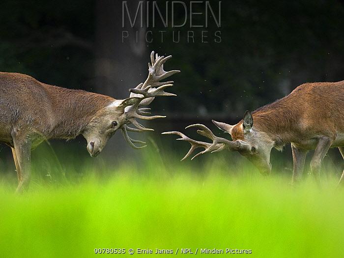 Red deer (Cervus elaphus) stags fighting, Holkham Park, Norfolk, England, UK, September.