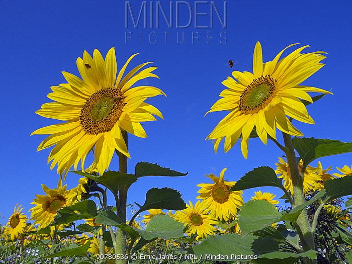Sunflowers (Helianthus annuus) in bloom on Norfolk, England, UK. August.