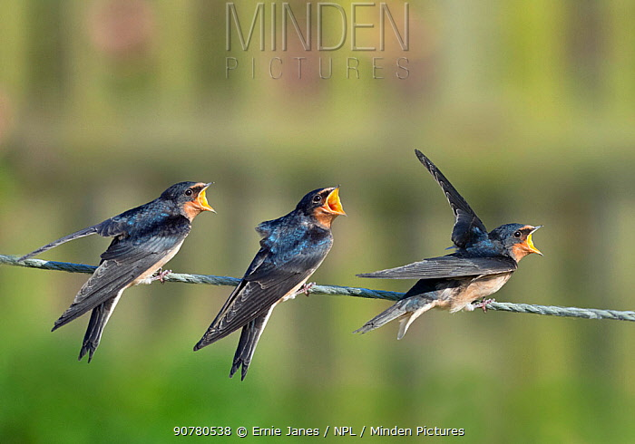 Fledgling Swallows (Hirundo rustica) on fence waiting to be fed, Norfolk, England, UK, September.