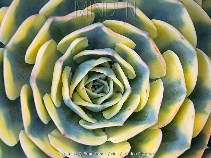 Close up detail of variegation of Aeonium 'Sunburst'.