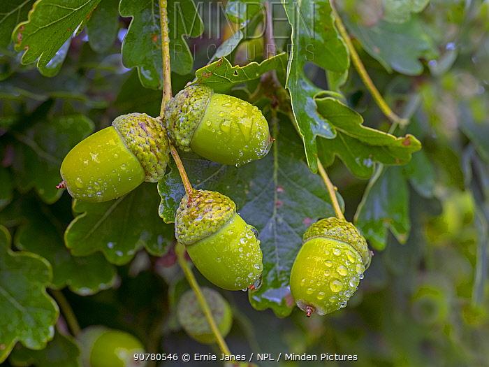 Oak (Quercus robur) acorns in autumn,England, UK, August.