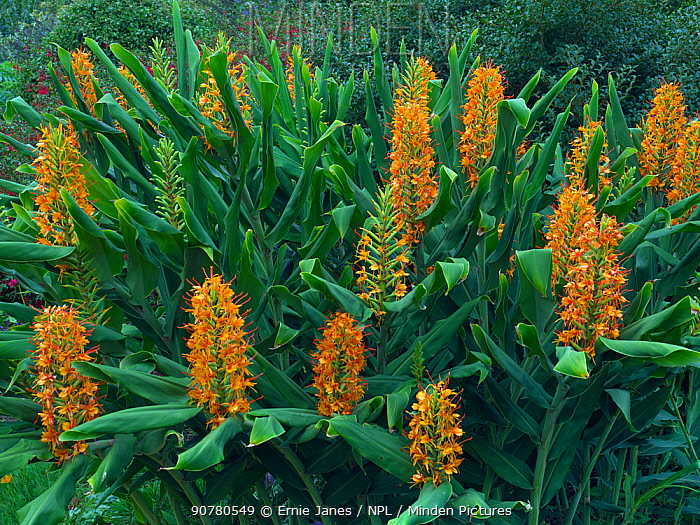 Ginger Lily (Hedychium) 'Tara' growing in autumn border.
