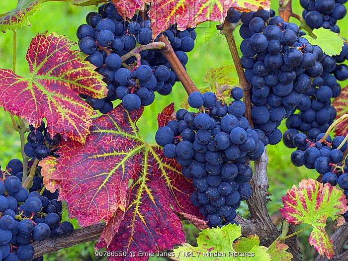 Grape 'Regent' with ripe fruit and autumn leaves in garden.  Norfolk, England, UK, September.