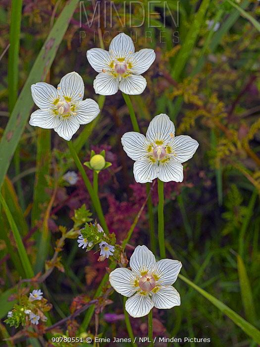 Grass-of-parnassus (Parnassus palustris) flowers. Norfolk, England, UK, August.