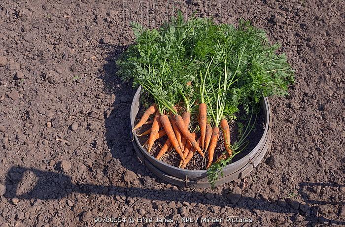 Carrots (Daucus carota subsp. sativus) just picked in seive
