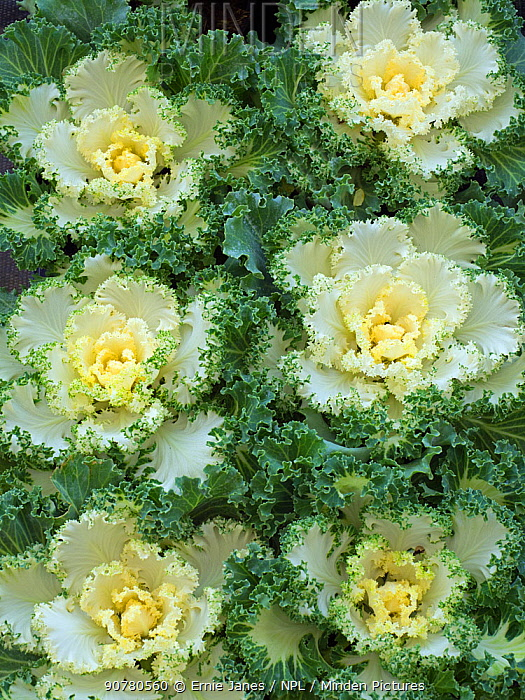 Ornamental Kale 'Nagoya white' in garden border.