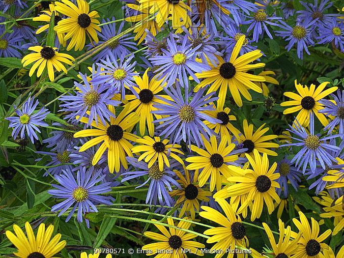 Black eyed susan (Rudbeckia fulgida var. sullivantii) 'Goldsturm' flowers with Michaelmas daisies (Aster amellus) in garden.