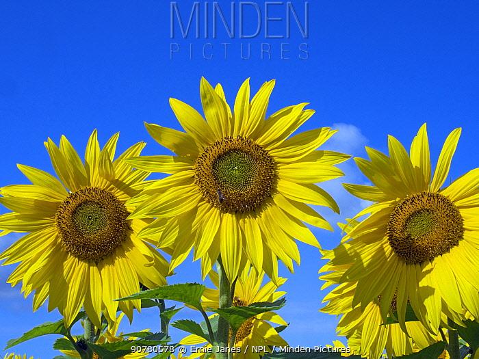 Sunflowers (Helianthus annuus) in bloom, Norfolk, England, UK, August.