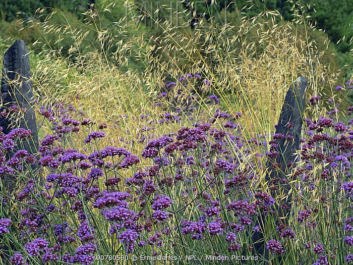 Argentinian vervain (Verbena bonariensis) and Giant feather grass (Stipa gigantea) in garden border.