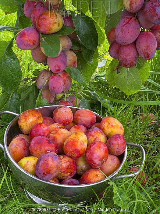 Victoria plums (Prunus domestica) during harvest in garden. England, UK, August.