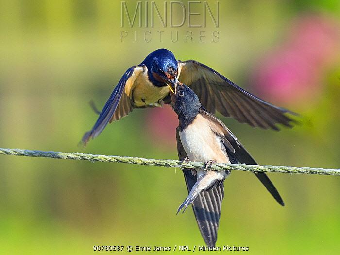 Swallow (Hirundo rustica) feeding young on fence, Norfolk, England, UK, September.