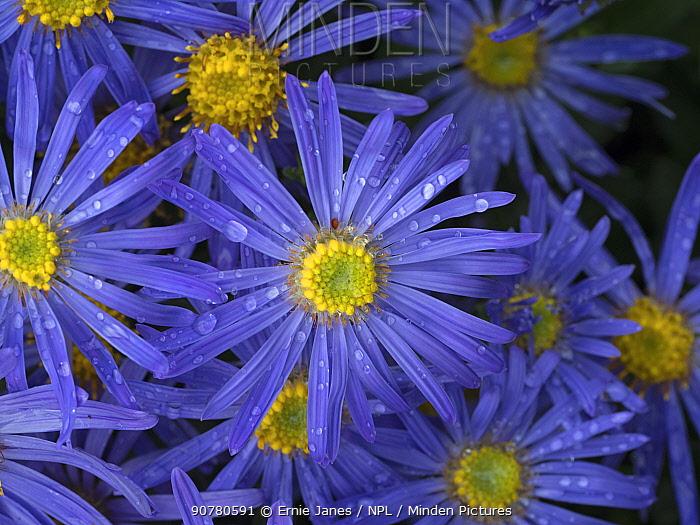Michaelmas daisy (Aster amellus) flowers in garden.