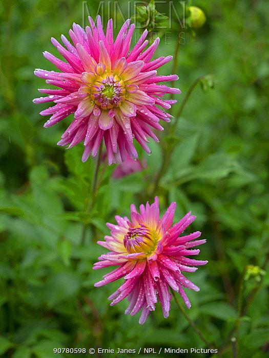 Dahlia 'Catherine Ireland' flower in summer border