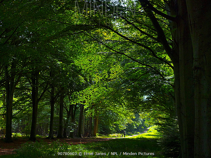 Track running through Beech wood (Fagus sylvatica) Felbrigg Great Wood, Norfolk, UK, October.
