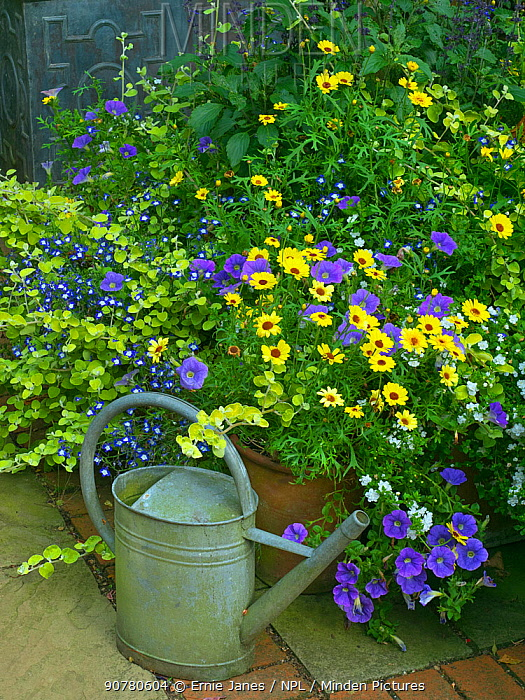 Watering can and cottage garden with Petunias on patio. July 2017.