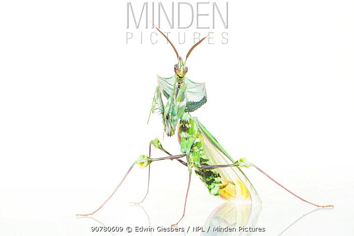 Devil's flower mantis (Idolomantis diabolica) on white background, captive, occurs in Africa.