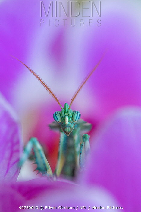 Thistle Mantis (Blepharopsis mendica) among petals, captive, occurs in North Africa and the Canary Islands.