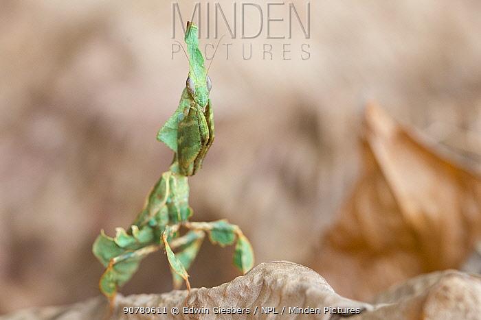 Ghost mantis (Phyllocrania paradoxa) captive occurs in Africa.