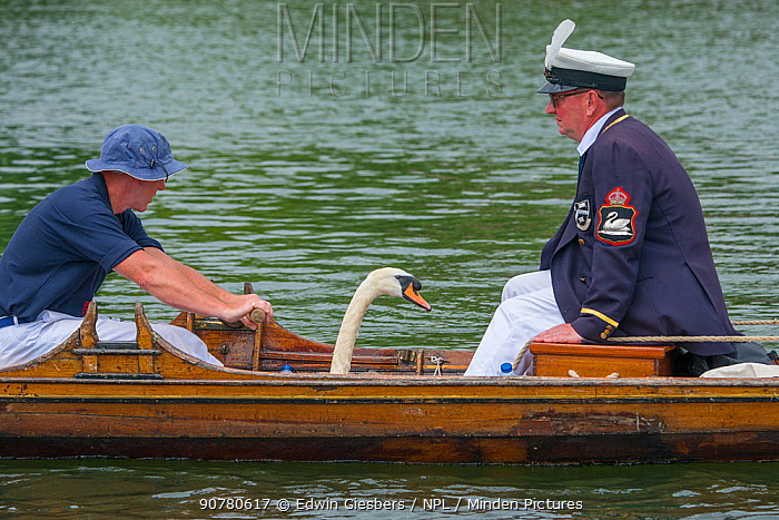 Men in boat with  Mute swan (Cygnus olor)  during the Swan upping, the annual census and marking of the Swans on the River Thames. England, UK, July 2016