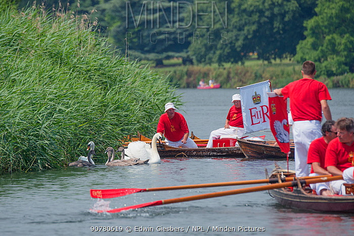 People catching Mute swans (Cygnus olor) during the Swan upping, the annual census and marking of the Swans on the River Thames. England, UK, July 2016.