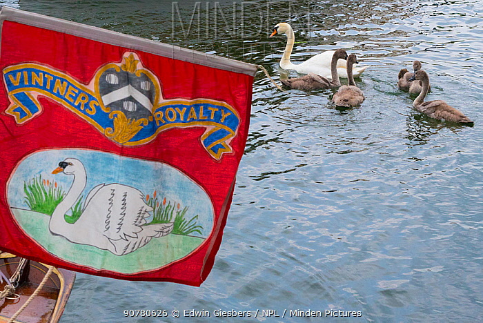 Swan Upping banner and family of Mute swans (Cygnus olor) with cygnets during the during the Swan upping, the annual census and marking of the Swans on the River Thames. England, UK, July 2016.