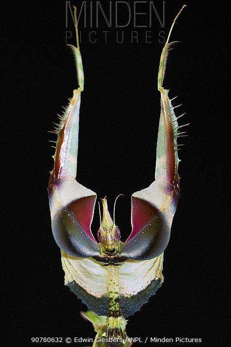 Devil's flower mantis (Idolomantis diabolica) male in defensive posture, captive, occurs in Africa.