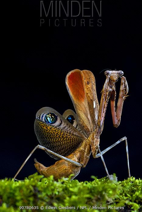 Peacock mantis (Pseudempusa pinnapavonis) in defensive posture; captive occurs in Burma and Thailand.