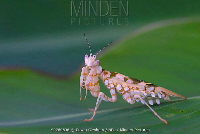 Spiny flower mantis (Pseudocreobotra wahlbergii) captive, occurs in Africa.