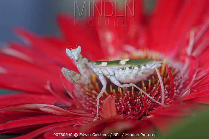 Indian flower mantis (Creobroter gemmatus) on flower, captive, native Asia.