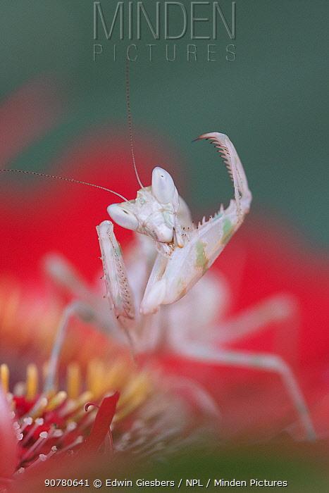 Indian flower mantis (Creobroter gemmatus) grooming, captive, native Asia.