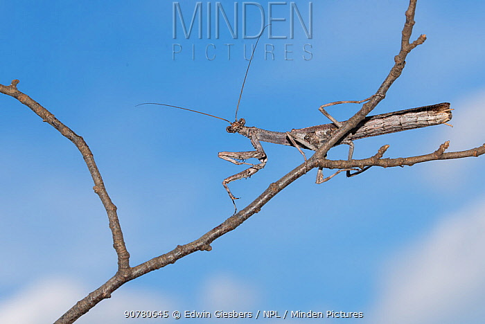 African twig mantis (Popa spurca) on twig, captive, occurs in Africa.