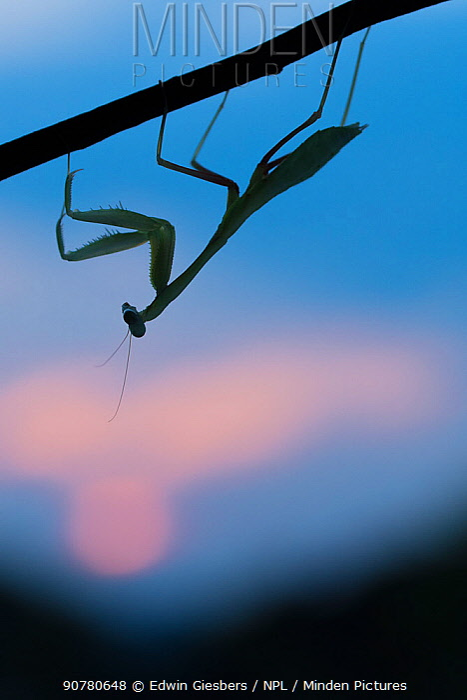 African mantis (Sphodromantis gastrica) upside down on twig, captive, occurs in Africa.