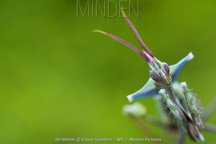 Devil's flower mantis (Idolomantis diabolica) portrait, male,  captive, occurs in Africa.
