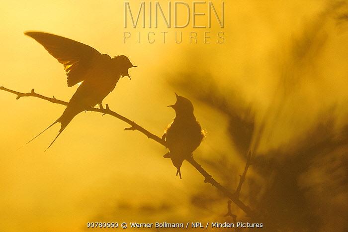 Barn swallows (Hirundo rustica) calling, silhouetted in midnight sun, Oland, Sweden, June.