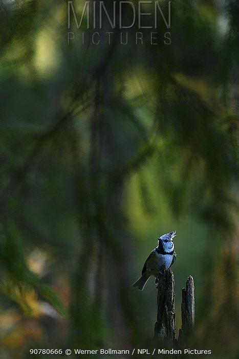 Crested tit (Lophophanes cristatus) Haubenmeise, Lentiira, Finland, September.