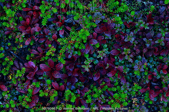 Crowberry (Empetrum nigrum), Lingonberry (Vaccinium vitis-idaea) and Black Bearberry (Arctostaphylos alpina) Rukatunturi, Finland, September.